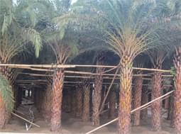 中艺源棕榈科基地