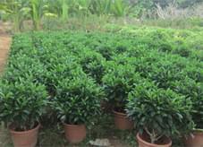 非洲茉莉球苗木批发